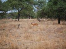Gazang Safari National Park Tarangiri Ngorongoro. Savannah trees, drought season, rainy season, yellow grass, Thomson gazelle, safari in Africa, Arusha, green royalty free stock photography