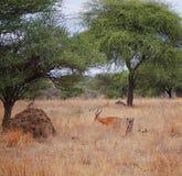 Gazang Safari National Park Tarangiri Ngorongoro. Savannah trees, drought season, rainy season, yellow grass, Thomson gazelle, safari in Africa, Arusha, green royalty free stock images