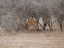 Gazang Safari National Park Tarangiri Ngorongoro. Savannah trees, drought season, rainy season, yellow grass, Thomson gazelle, safari in Africa, Arusha, green royalty free stock photo