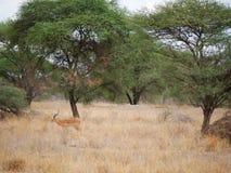 Gazang Safari National Park Tarangiri Ngorongoro. Savannah trees, drought season, rainy season, yellow grass, Thomson gazelle, safari in Africa, Arusha, green stock images