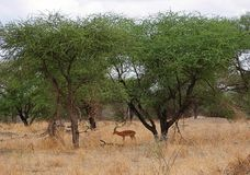 Gazang Safari National Park Tarangiri Ngorongoro. Savannah trees, drought season, rainy season, yellow grass, Thomson gazelle, safari in Africa, Arusha, green stock photography
