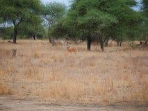 Gazang Safari National Park Tarangiri Ngorongoro. Savannah trees, drought season, rainy season, yellow grass, Thomson gazelle, safari in Africa, Arusha, green royalty free stock image