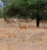 Gazang Safari National Park Tarangiri Ngorongoro. Savannah trees, drought season, rainy season, yellow grass, Thomson gazelle, safari in Africa, Arusha, green royalty free stock photos