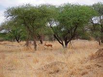 Gazang Safari National Park Tarangiri Ngorongoro. Savannah trees, drought season, rainy season, yellow grass, Thomson gazelle, safari in Africa, Arusha, green stock photos