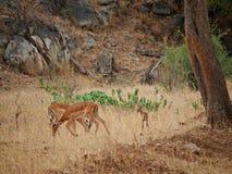 Gazang safari park narodowy Tarangiri Ngorongoro obraz royalty free