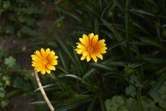 Gazania żółty kwiat obrazy royalty free