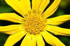 Gazania żółty kwiat Zdjęcie Royalty Free