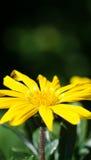Gazania żółty kwiat Fotografia Royalty Free