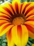 gazania λουλουδιών Στοκ φωτογραφία με δικαίωμα ελεύθερης χρήσης