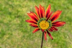 Gazania, маргаритка Африки с красной оранжевой звездой как лепестки и центр зеленого цвета и желтых стоковые фотографии rf