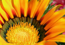Gazania Stock Photos