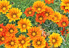 Free Gazania Royalty Free Stock Photo - 13905655