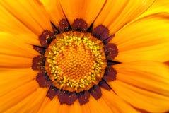 Gazania. Detail of orange blossom Gazania.(Sun flower Stock Photo