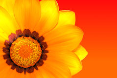 Gazania. Flower detail on a sunny background Stock Photos