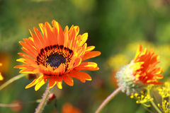 Gazania Royalty Free Stock Photos