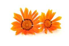 Gazania. Two orange Gazania flower on a white background Stock Photography