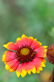 Gazania Royalty Free Stock Image