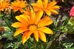 Gazania. Splendens 'Talent Orange' flowers Stock Photos