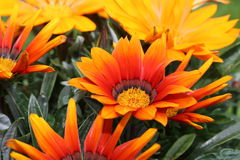 Gazania Photographie stock