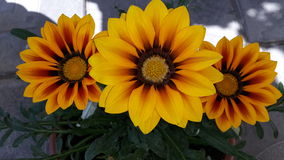 Gazania Photos stock