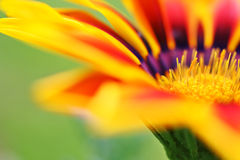 Gazania Royalty Free Stock Photo