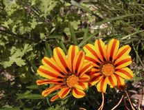 Gazania. Perennial flower Royalty Free Stock Photos