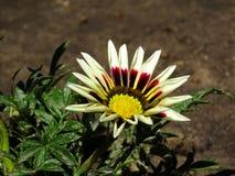 Gazania - alias das afrikanische Gänseblümchen Stockfoto