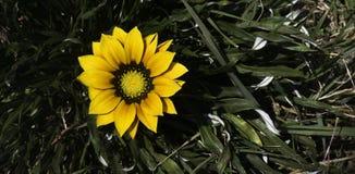 Gazania, als es Blüte im Sommer Lizenzfreie Stockfotos