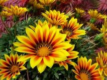 Gazania amarelo bonito Fotos de Stock Royalty Free
