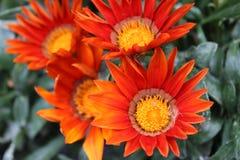 Gazania anaranjado Imagen de archivo libre de regalías