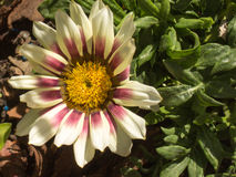 Gazania auf dem Garten Stockfotos