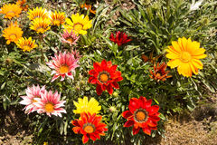 Gazania bed Royalty Free Stock Image