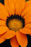 Gazania bloom detail (gazania rigens) Royalty Free Stock Photography