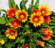 Gazania blooming flowers Royalty Free Stock Image