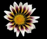 Gazania Blossom. On black background Stock Image