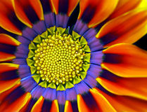 Gazania bonito Fotos de Stock Royalty Free
