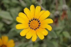 Gazania. The bright yellow flowers of the Gazania blooming in a garden in Malaga, Spain Stock Photography