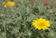 Gazania. The bright yellow flowers of the Gazania blooming in a garden in Malaga, Spain Stock Image
