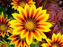 Gazania brilhante amarelo bonito Foto de Stock Royalty Free