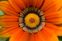 Gazania in Close Up Stock Photos