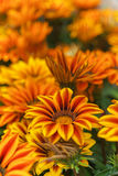 Gazania. Close-up on bed in summer city park Stock Images