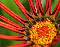 Gazania. Close up of a Gazania flower Royalty Free Stock Images