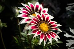 Gazania close-up red with white, two flowers in the garden. royalty free stock images