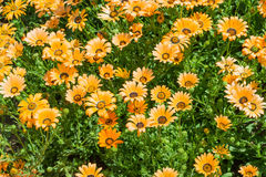 Gazania colored yellow. And orange stock photo