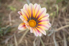 Gazania. In countryside in the foreground Stock Images