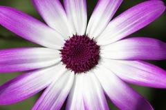 GAZANIA da flor Fotografia de Stock Royalty Free