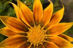 Gazania Daisy Royalty Free Stock Image