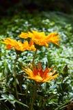 Gazania de fleur : gazania jaune de fleur, marguerites africaines images stock