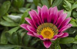 Gazania de florescência Fotografia de Stock Royalty Free