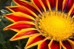 Gazania de la flor Fotos de archivo libres de regalías